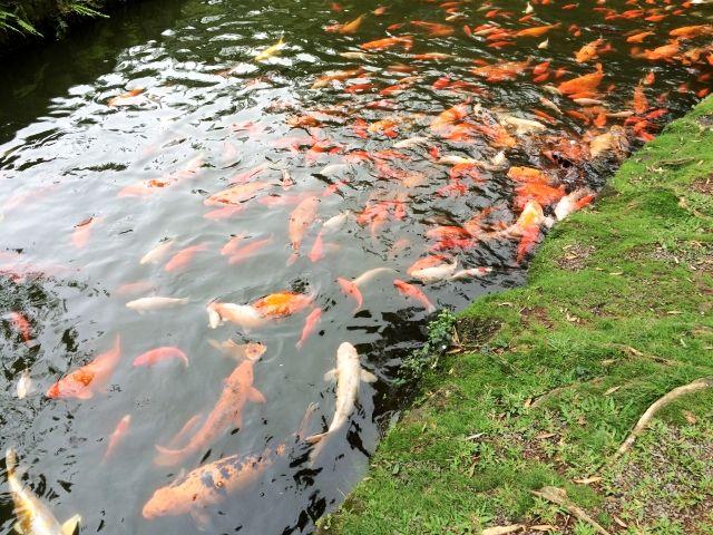 ハワイ平等院池の鯉