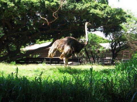 ホノルル動物園のだちょう