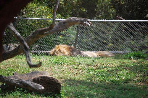 ホノルル動物園のライオン