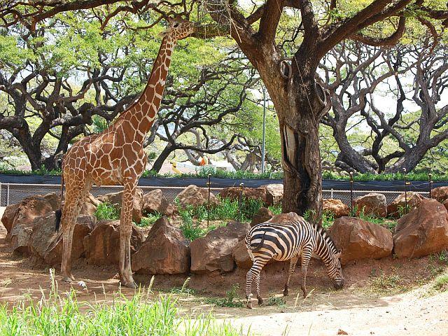 ホノルル動物園のキリンとシマウマ