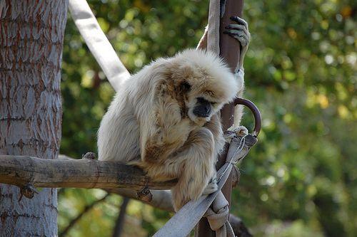 ホノルル動物園のモンキー