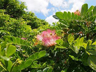 モンキーポッドの花