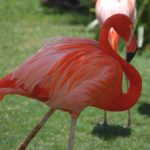 ホノルル動物園フラミンゴ